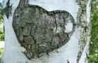 Birch Heart